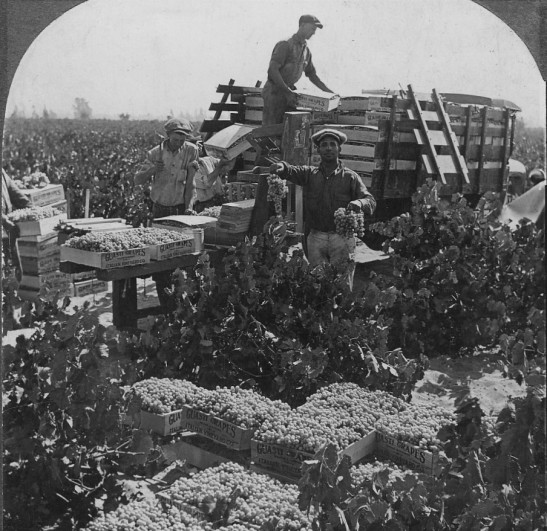 guasti-vineyard-picking-1920s