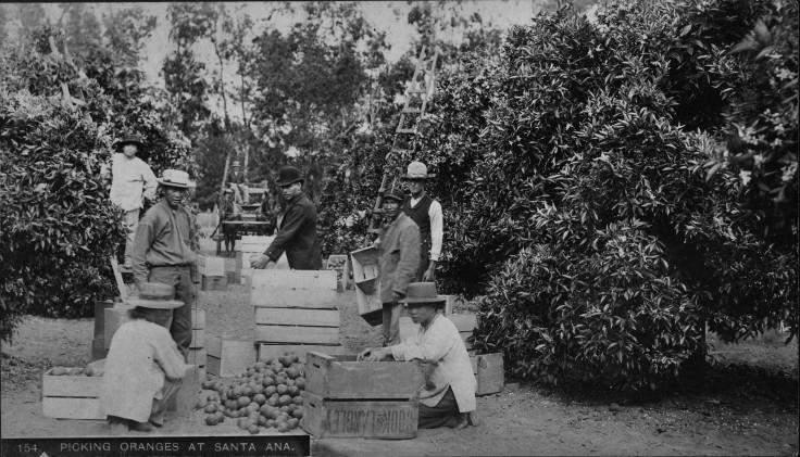 picking-oranges-at-santa-ana-blanchard-1890s