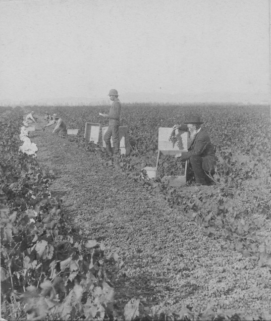 schumacher-grape-picking-1890s