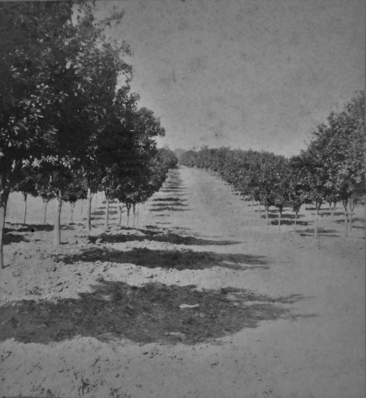 san-gabriel-orange-grove-1870s