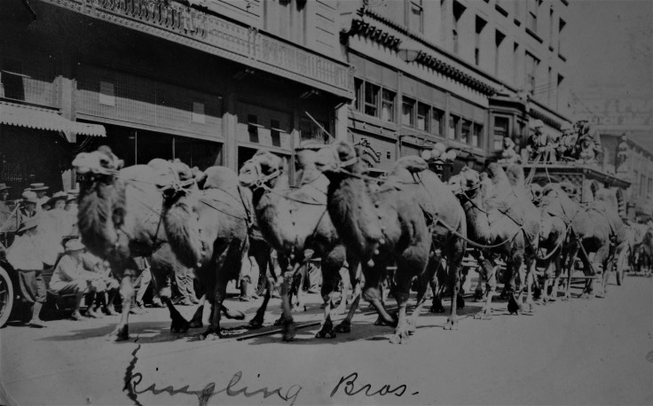 ringling-brothers-camels-1914