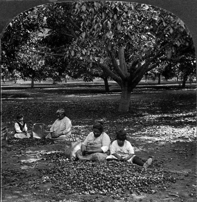 0217042 158 Walnuts Shelling And Picking Walnuts By Hand El Monte Calif 2010.62.1.1