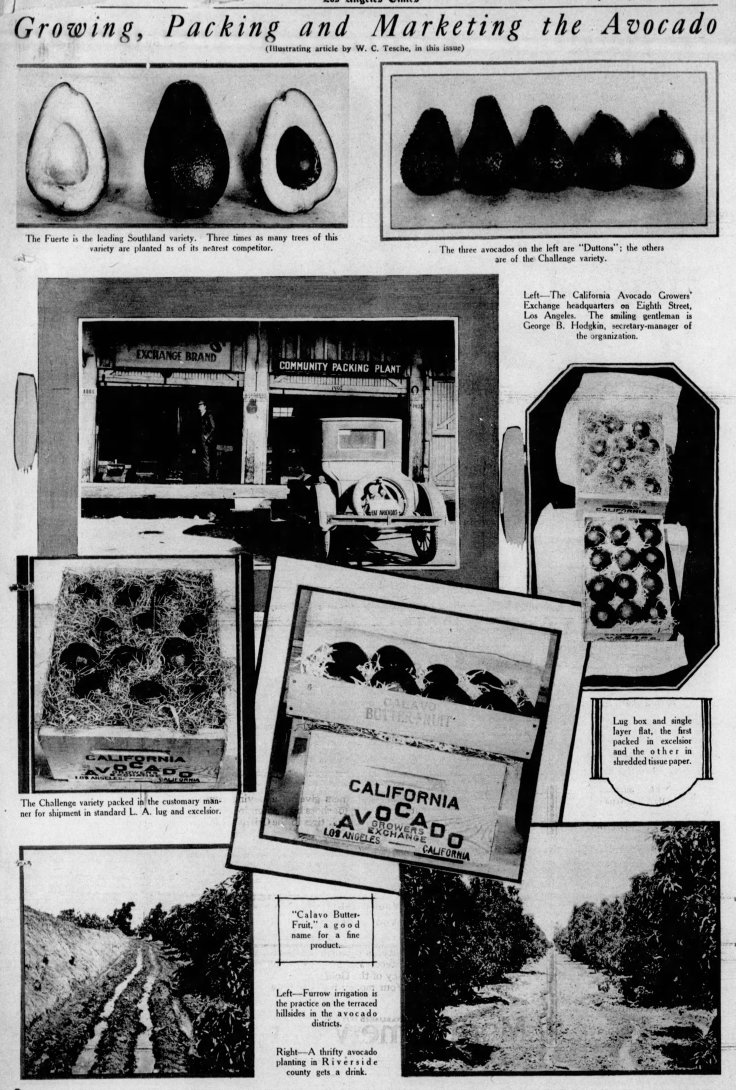 Avocado Growing Packing Marketing The_Los_Angeles_Times_Sun__Mar_7__1926_ (1)